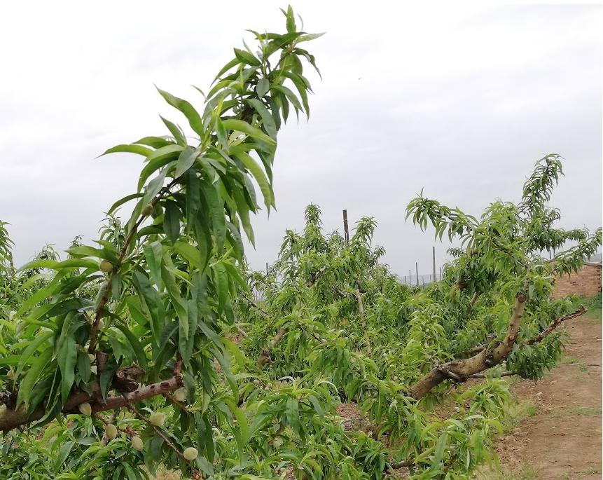 Aporte de hierro, zinc y manganeso para prevenir la clorosis en frutales.