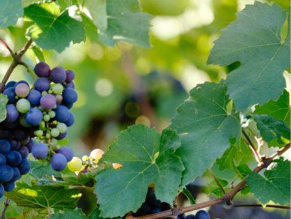 Mejora la cosecha con un corrector de micronutrientes.