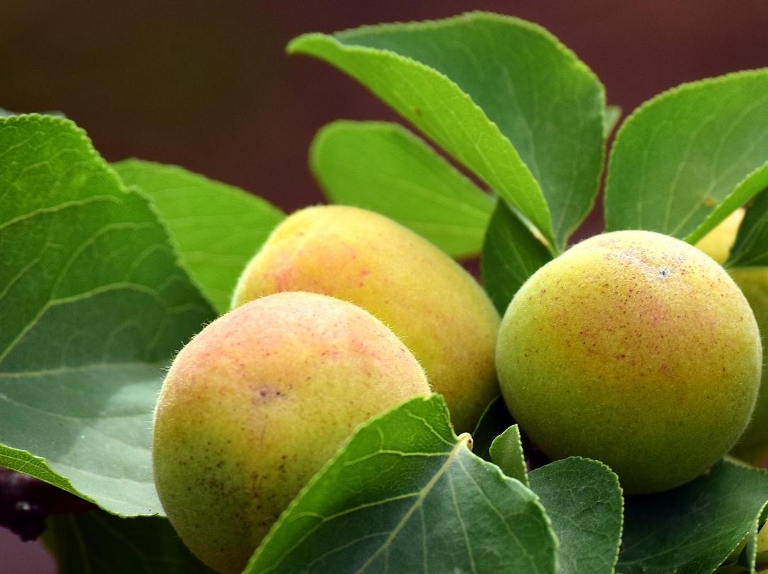 Corregir las carencias de manganeso en frutales de hueso para mejorar la cosecha.
