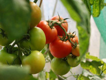 Nanopartículas de cobre para mejorar la producción en tomateras e inducir su autodefensa.