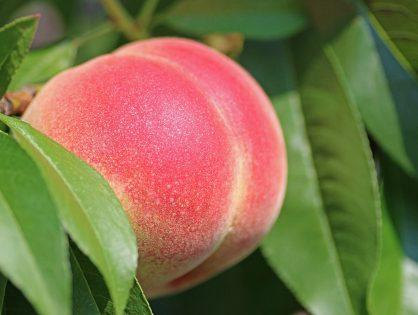 La importancia de los micronutrientes durante el desarrollo del fruto.