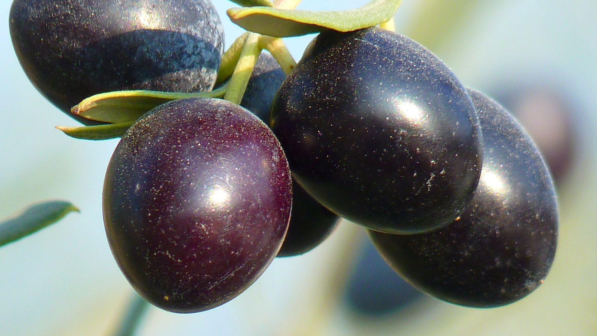 Aumento de la calidad de la aceituna con bioestimulantes: Kaliter Nodosum.