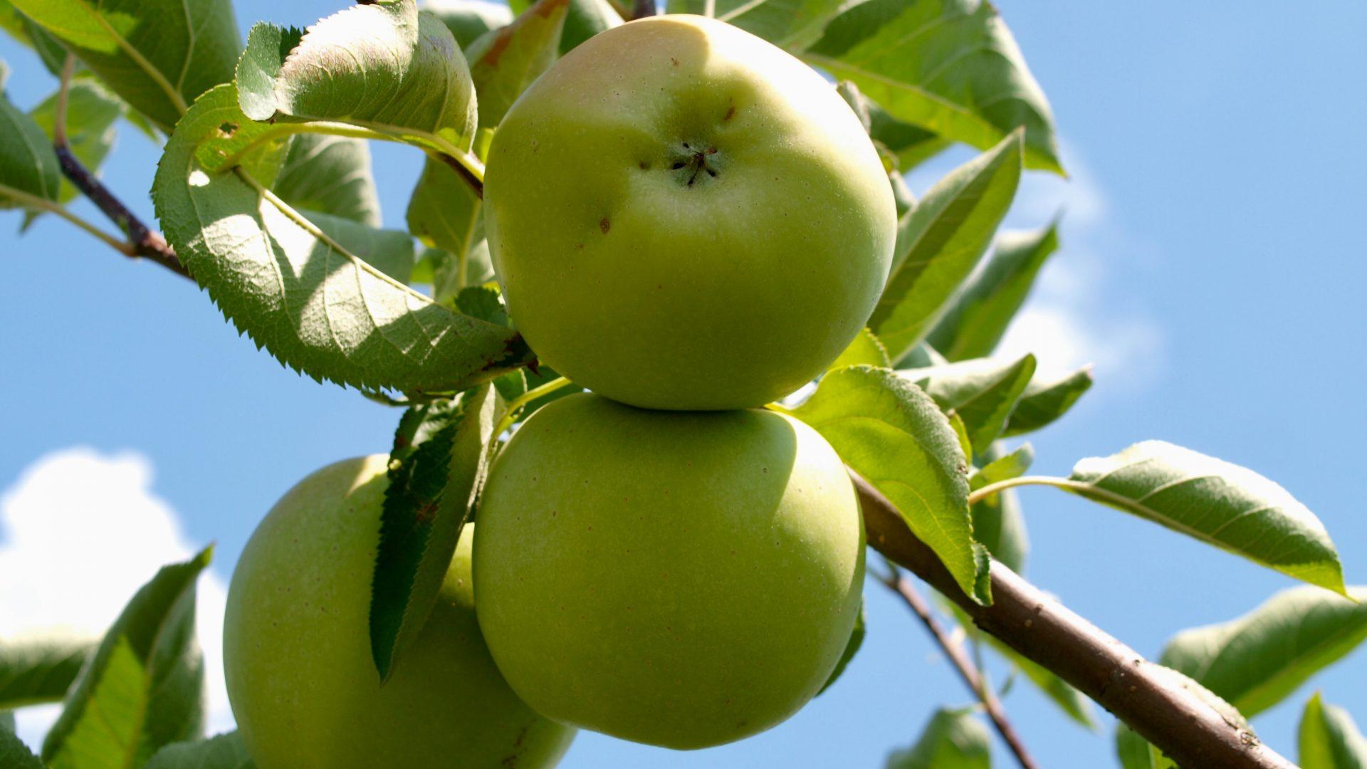 Previniendo fisiopatías en manzana tardía con Nanocrop Calcio