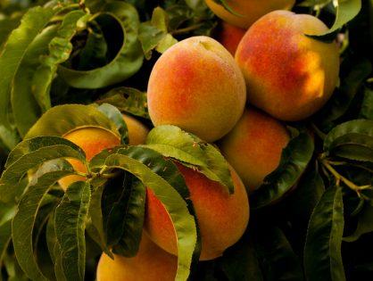 Mejora el engorde de melocotón, nectarina y manzana con bioestimulantes.