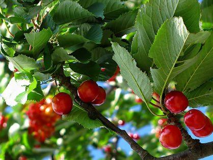 Aporte de calcio para variedades tempranas como la cereza y el albaricoque.