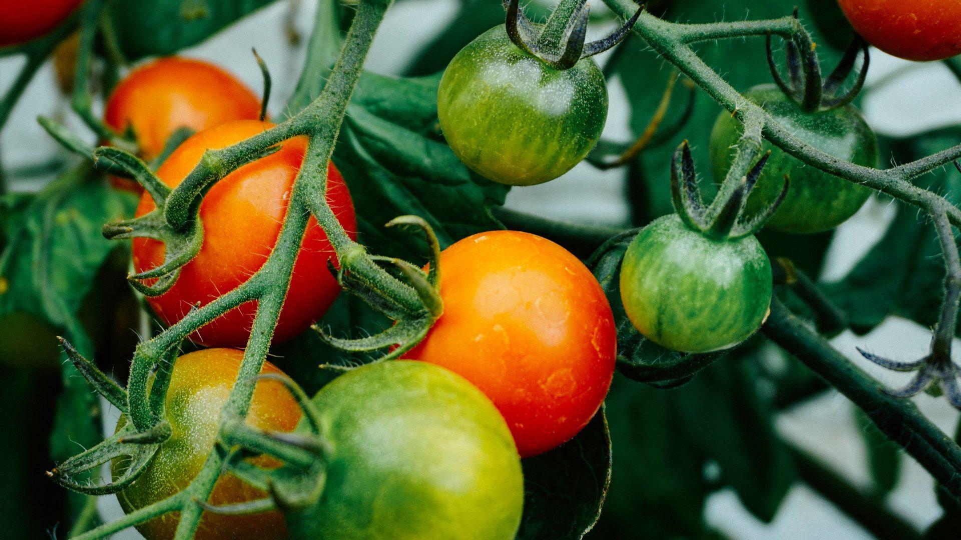 Maduración homogénea de tomates con bioestimulantes.