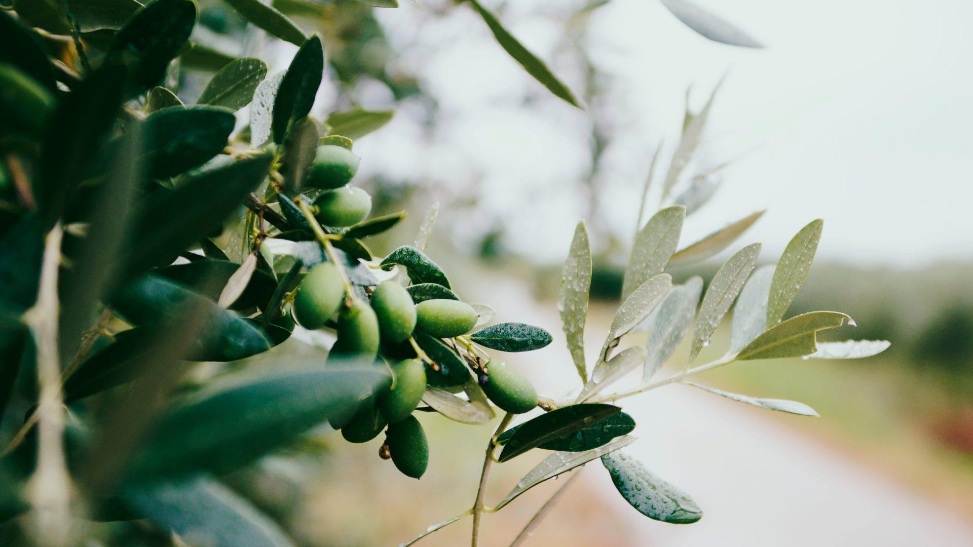 Aporte de potasa en el olivo para garantizar un mejor desarrollo del fruto.