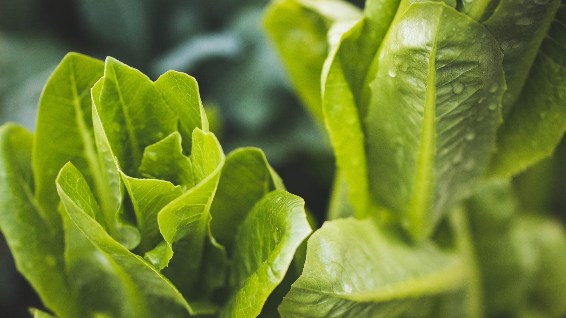 Agricultura sostenible: Prevención de problemas fúngicos de la lechuga y brócoli