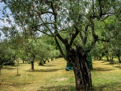 Preparando el olivo tras la cosecha.