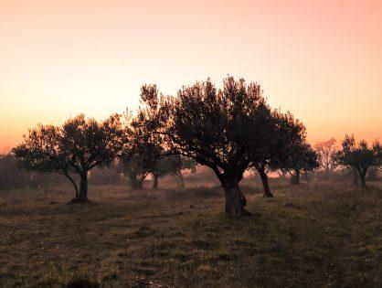 Asegurar las reservas de micronutrientes en olivo.