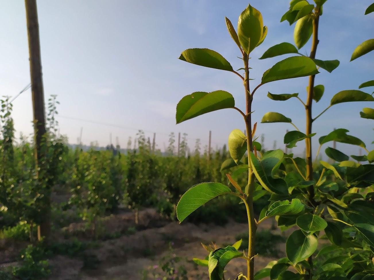 La glicinabetaína reduce el estrés hídrico en plantaciones jóvenes.