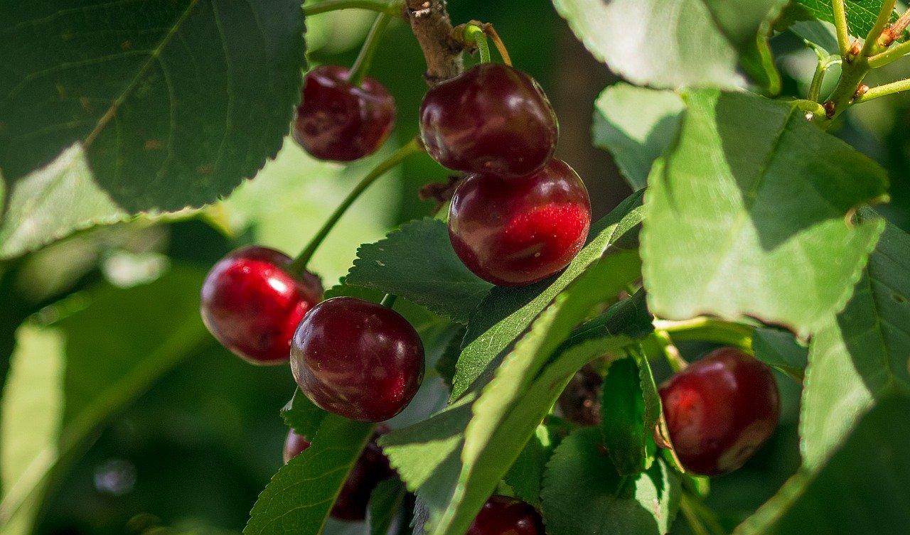Glicinbetaína para reducir el estrés hídrico en plantaciones jóvenes.